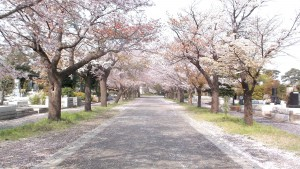 多磨霊園の道路には桜の花びらがいっぱい